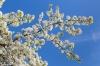 cherry tree blossoms and blue sky, San Diego, California