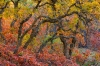 Oak Trees, San Juan National Forest, Colorado