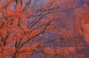 Maple Tree, Virgin Narrows, Zion National Park, Utah