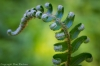 Newly unfurling sword fern frond, Gifford Pinchot National Forest, Washington