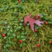Oak Leaf and Gaultheria procumbens (eastern teaberry, checkerberry, boxberry, or American wintergreen), Tellico River, Cherokee National Forest, Tennessee