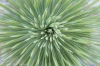 Soaptree Yucca, (Yucca elata), Guadalupe Mountains National Park, Texas