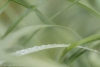 Dew drops on beach grass, Seabeck, Washington