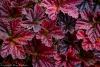 Cloudberry (Rubus chamaemorus) leaves in fall - Alaska, Brooks Range