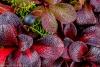 Alpine Bearberry (Arctostaphylos alpina) and crowberry (Empetrum nigrum} - Alaska, Dalton Highway, Finger Rock area - Photographed at 50.6 megapixels