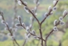 Close up of pussy willows - Photographed at 50.6 mega pixels.