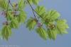 Vine Maple in bloom