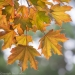 Sunshine on Maple Leaves, Washington, Seabeck, Guillemot Cove Nature Reserve