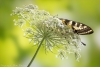 Queen Annes Lace with a swallowtail butterfly - 50.6 mp