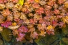 Fall vine maple leaves floating in a pool