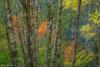 Alder and vine maple forest - Washington, Olympic National Park