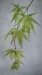 Japanese Maple tree branch
