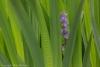 Iris and Nepeta