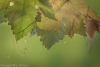 Grape leaves and tendrils
