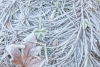Frost covered bigleaf maple leaf