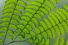 Maidenhair Fern #6189