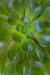 Sedum Succulent #4935