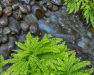 Maidenhair Ferns and Stream #5903