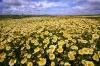 Wildflowers, Carizzo Plain National Monument, California