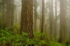 Fog, Redwood National Park, California