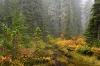 Fall Forest, Mount Rainier National Park