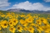 Montana; Rocky Mountain Front east of Great Falls; Balsamroot