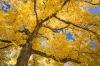 Oregon; Joseph H. Stewart State Park; Walnut tree
