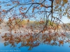 Maple Tree over Indian Boundary Lake, Tennessee