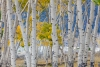 Aspen trees in a grassy meadow - Utah, Fishlake National Forest, near Fish Lake, viewed from the Lakeshore National Recreation Trail (50.6 Megapixel)
