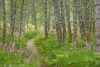 Trail through birch forest and fireweed - Alaska, Kenai Peninsula, Anchor Creek