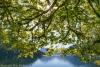 Bigleaf maple tree on lake shore - Olympic National Park, Lake Crescent