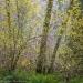 Hazelnut and Alder trees