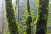 Licorice Ferns on Bigleaf Maple trees #2