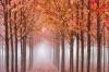 Oregon; Willamette Valley; Rows of Trees in Fog