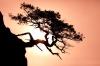 Washington; San Juan Islands; Matia Island; Gnarled Tree