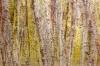 Painterly Alder Trees