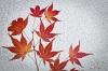 Maple Leaves & Frosty Window