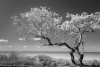 Lone Tree-2