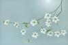 Pacific Dogwood Blossoms (Mint Tone)