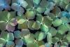 Dried hydrangea blossoms