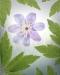 Blue Windflower - 50.6mp
