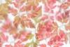 Herb Robert Leaves- Photographed at 50.6 mega pixels