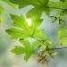 Bigleaf maple leaves - Washington, Seabeck, Guillemot Cove Nature Reserve