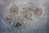 Allium Seed Heads and Butterfly