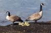 Canada Geese, San Juan Islands