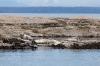 Harbor Seals, San Juan Islands
