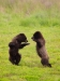 Brown bear cubs playing, Pack Creek, Southeast Alaska