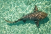 Nurse Shark, Bahamas
