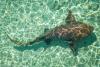 Nurse Shark, Bahamas
