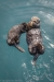 Sea otter with pup - California, Morro Bay